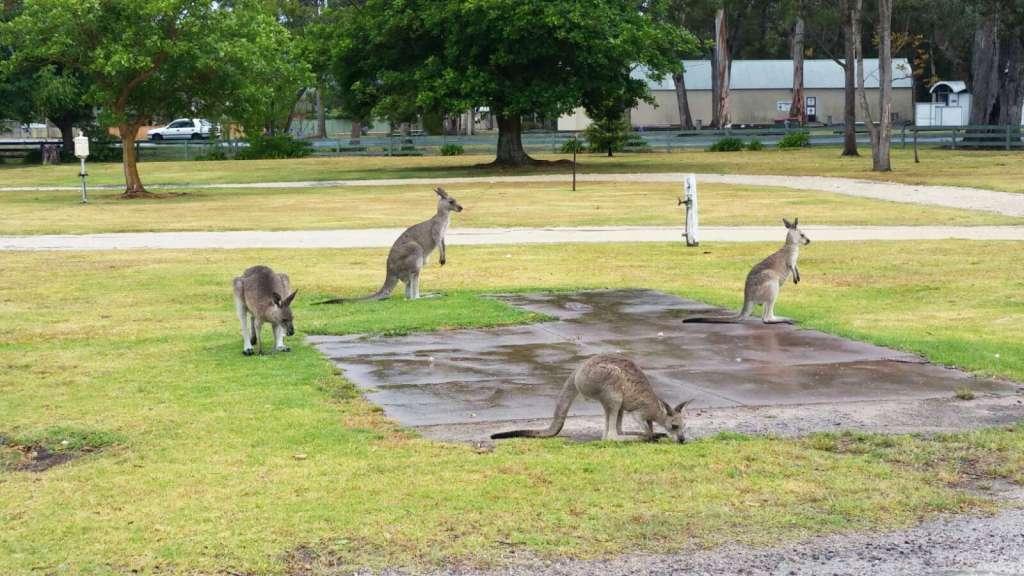 Sleeping among the kangaroos
